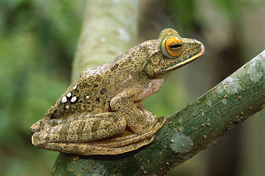 Eastern White-lipped Treefrog (Boophis albilabris), Madagascar  -  Patricio Robles Gil/ Sierra Madr