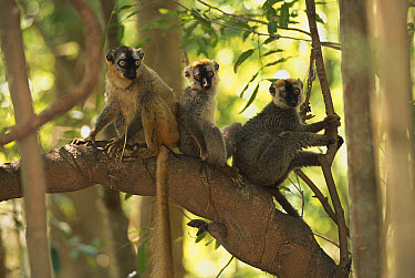 Common Brown Lemur (Eulemur fulvus) group in tree, Anjajavy, northwestern Madagascar  -  Patricio Robles Gil/ Sierra Madr