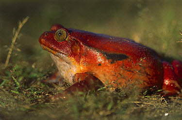 Tomato Frog (Dyscophus antongilii) very rare in nature, is found only in the town of Maroantsetra, Madagascar  -  Patricio Robles Gil/ Sierra Madr