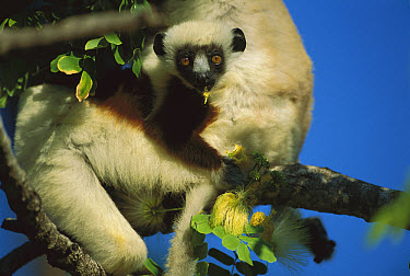 Coquerel's Sifaka (Propithecus coquereli) diurnal, common in mixed deciduous and evergreen forest, northwestern Madagascar  -  Patricio Robles Gil/ Sierra Madr