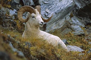 Dall's Sheep (Ovis dalli) ram portrait, North America  -  Patricio Robles Gil/ Sierra Madr