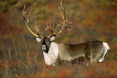 Caribou (Rangifer tarandus) bull on autumn tundra with branch caught in antlers, Denali National Park and Preserve, Alaska  -  Patricio Robles Gil/ Sierra Madr