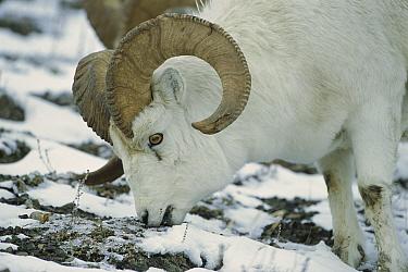 Dall's Sheep (Ovis dalli) ram grazing on dried grasses and lichen in the winter, North America  -  Patricio Robles Gil/ Sierra Madr