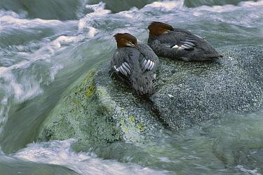 Common Merganser (Mergus merganser) pair sleeping on rock in flowing river, Alaska  -  Patricio Robles Gil/ Sierra Madr