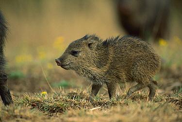 Collared Peccary (Tayassu tajacu) piglet, Sierra del Carmen region, Mexico  -  Patricio Robles Gil/ Sierra Madr