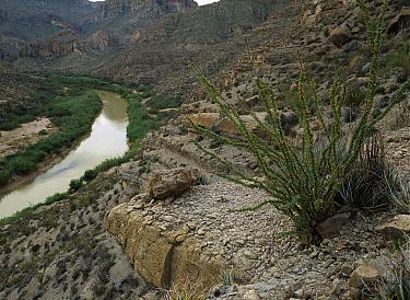 Ocotillo (Fouquieria splendens) growing along the Rio Grande River, Sierra del Carmen region, Mexico  -  Patricio Robles Gil/ Sierra Madr
