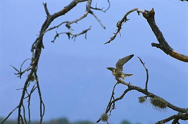 Peregrine Falcon (Falco peregrinus) landing on snag, Sierra del Carmen region, Mexico  -  Patricio Robles Gil/ Sierra Madr