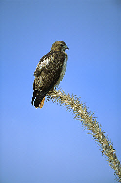 Red-tailed Hawk (Buteo jamaicensis) perching on dead Ocotillo (Fouquieria splendens) cactus branch, Sierra del Carmen region, Mexico  -  Patricio Robles Gil/ Sierra Madr