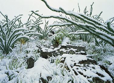 Ocotillo (Fouquieria splendens) and other vegetation, Chihuahuan Desert, Sierra del Carmen region, Coahuila state, Mexico  -  Patricio Robles Gil/ Sierra Madr