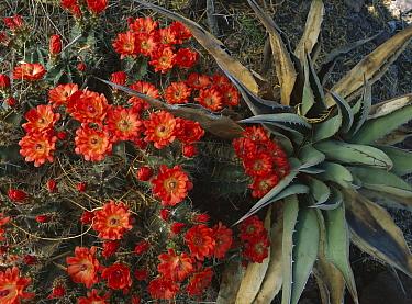Claret Cup Cactus (Echinocereus triglochidiatus) and Agave, Chihuahuan Desert, Mexico  -  Patricio Robles Gil/ Sierra Madr