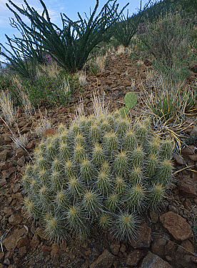 Ocotillo (Fouquieria splendens) landscape, Chihuahuan Desert, Sierra del Carmen region, Coahuila state, Mexico  -  Patricio Robles Gil/ Sierra Madr