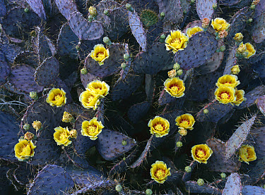 Opuntia (Opuntia sp) cactus in bloom, Chihuahuan Desert, Mexico  -  Patricio Robles Gil/ Sierra Madr