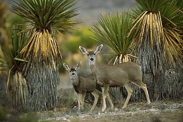 Mule Deer (Odocoileus hemionus) doe and fawn amid Yucca, Chihuahuan Desert, Mexico  -  Patricio Robles Gil/ Sierra Madr
