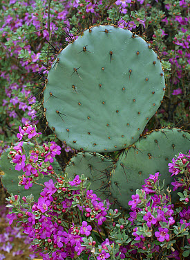 Opuntia (Opuntia sp) cactus surrounded by desert flowers, Chihuahuan Desert, Mexico  -  Patricio Robles Gil/ Sierra Madr