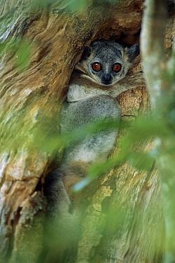 White-footed Sportive Lemur (Lepilemur leucopus) in tree crevice, Madagascar  -  Patricio Robles Gil/ Sierra Madr