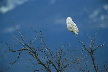 Snowy Owl (Nyctea scandiaca) perching in tree, North America  -  Patricio Robles Gil/ Sierra Madr