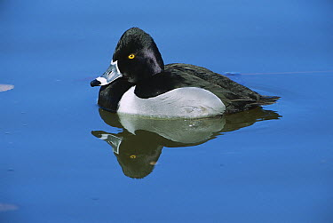 Ring-necked Duck (Aytha collaris) male, North America  -  Patricio Robles Gil/ Sierra Madr