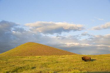 American Bison (Bison bison) in grassland, National Bison Range, Montana