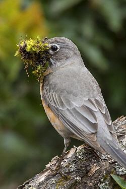 American Robin (Turdus migratorius) with nesting material, Montana
