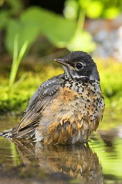 American Robin (Turdus migratorius) juvenile bathing, Montana