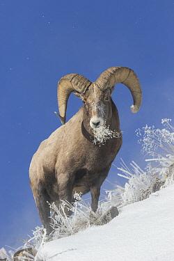 Bighorn Sheep (Ovis canadensis) ram grazing in winter, Yellowstone National Park, Wyoming