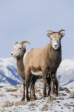 Bighorn Sheep (Ovis canadensis) females in winter, Jasper National Park, Alberta, Canada