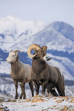 Bighorn Sheep (Ovis canadensis) female and male in winter, Jasper National Park, Alberta, Canada