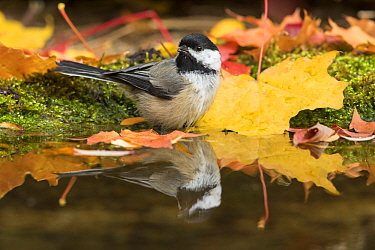 Black-capped Chickadee (Poecile atricapillus) at pond in autumn, Troy, Montana