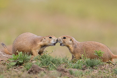 Black-tailed Prairie Dog (Cynomys ludovicianus) pair greeting, South Dakota