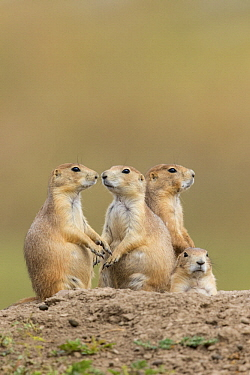 Black-tailed Prairie Dog (Cynomys ludovicianus) group, South Dakota