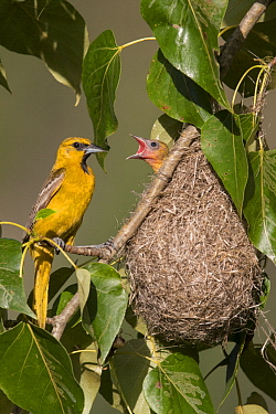 Bullock's Oriole (Icterus bullockii) parent at nest with begging chick, Montana