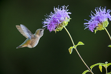 Calliope Hummingbird (Stellula calliope) feeding on flower nectar, Troy, Montana