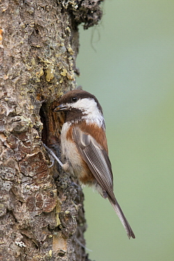 Chestnut-backed Chickadee (Poecile rufescens) at nest cavity, Troy, Montana