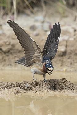 American Cliff Swallow (Petrochelidon pyrrhonota) gathering mud for nest building, Montana