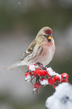 Common Redpoll (Carduelis flammea) in winter, Montana