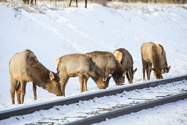 Elk (Cervus elaphus) females grazing along railroad tracks in winter, Alberta, Canada