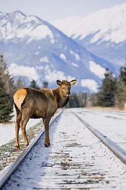 Elk (Cervus elaphus) female on railroad tracks in winter, Alberta, Canada