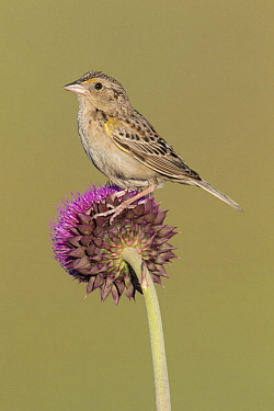 Grasshopper Sparrow (Ammodramus savannarum), Montana