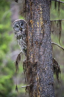 Great Gray Owl (Strix nebulosa), Yaak, Montana