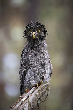 Great Gray Owl (Strix nebulosa) owlet after heavy rainfall, Yaak, Montana