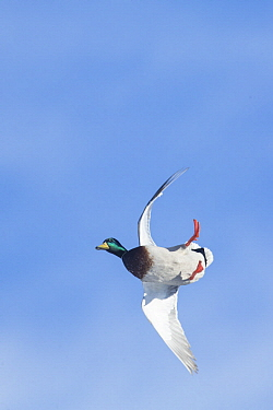 Mallard (Anas platyrhynchos) drake flying, Montana