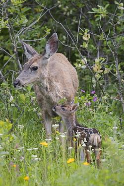 Mule Deer (Odocoileus hemionus) doe with newborn fawn, Montana