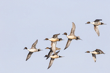 Northern Pintail (Anas acuta) males flying with female in spring courtship display, Montana
