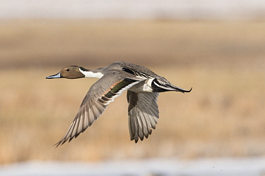 Northern Pintail (Anas acuta) drake flying, Montana