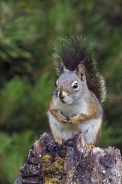 Red Squirrel (Tamiasciurus hudsonicus) in summer, Montana