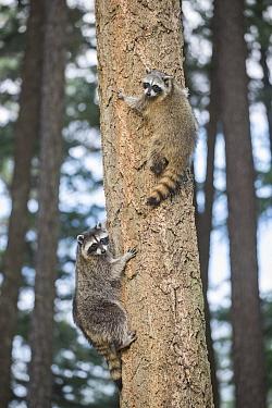 Raccoon (Procyon lotor) juveniles in tree, North America
