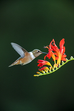 Rufous Hummingbird (Selasphorus rufus) female feeding on flower nectar, Montana