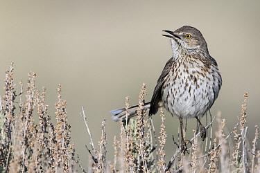 Sage Thrasher (Oreoscoptes montanus) male calling, Montana