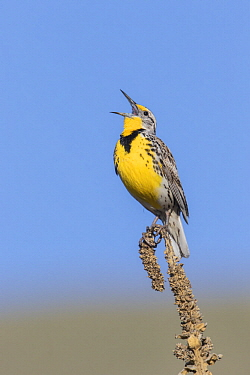 Western Meadowlark (Sturnella neglecta) male calling, Montana