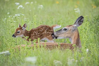 White-tailed Deer (Odocoileus virginianus) doe cleaning newborn fawn, Montana